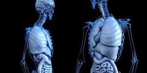 función del ácido linoleico en el cuerpo